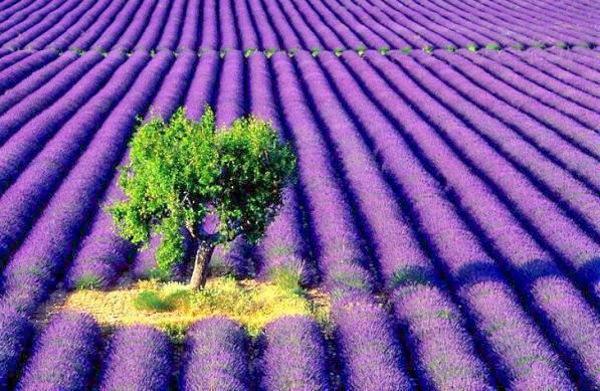 英国薰衣草庄园