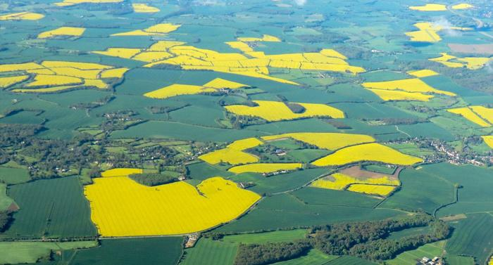 """PIC BY GEOFF ROBINSON PHOTOGRAPHY 07976 880732..PIC SHOWS RAPESEED FIELDS NEAR STANSTED,ESSEX,IN MAY 2012... British farmers are beating the recession with record crops of RAPESEED, thanks to the recent warm weather and an increase in demand from China and India...Farmers are growing 10 PER CENT more rapeseed this summer as global demand for oil seeds, particularly for use in cooking, has increased...The price of British rapeseed has also shot up after frosts in other parts of Europe meant the crop was destroyed...""""At last the prices have come up so it has given farmers the confidence to go out and apply all their knowledge and skill to get good rape seed crops into the ground,"""" said farmer Jack Storey, from Northumberland...""""If you get your crop right you are looking at £100 an acre profit this year.""""..Rapeseed is a bright yellow flowering member of the mustard and cabbage family...It used to be grown in the UK merely as a """"break"""" crop to supress weeds and improve soil quality and was only fit for animal feed...SEE COPY CATCHLINE Record crops of rapeseed in UK"""