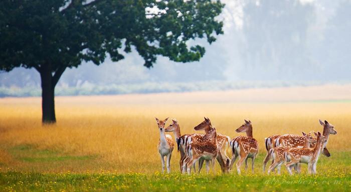 里士满公园鹿子