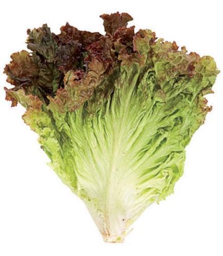 Leaf Lettuce 散叶莴苣
